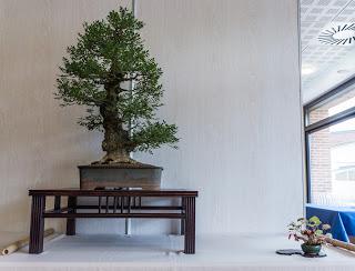 Le Frêne en Bonsai par Fredy
