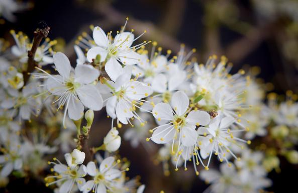 Les Prunus – Fiche de Culture
