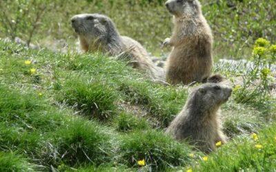 L'éveil des Marmottes